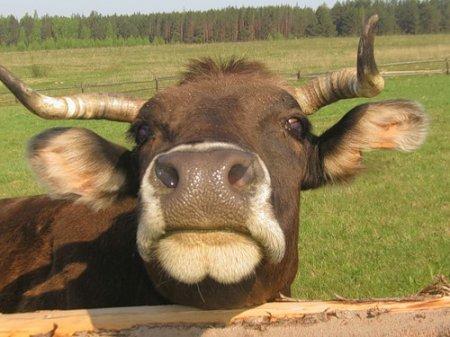 Коровы-ударницы поднимут знамя Железногорска
